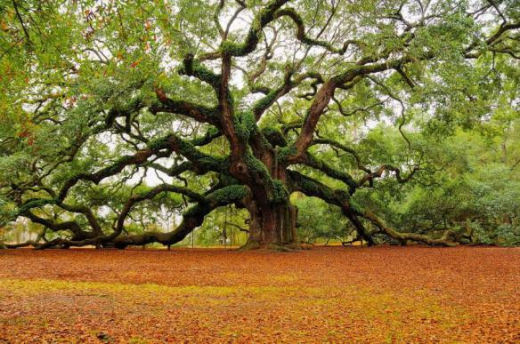 Live Oak